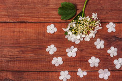 Inflorescence of viburnum on a branch on wooden brown background Royalty Free Stock Image