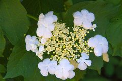 Inflorescence of the viburnum close up stock photos