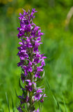 Inflorescence Western marsh-orchid closeup Stock Photo