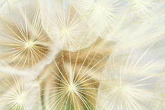Inflorescence of white dandelion Royalty Free Stock Photos
