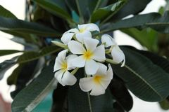 Inflorescence of white five-petalled flowers with yellow centers. Beautiful white flowers.  stock image