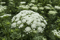 Inflorescence with white flower carrots planted on the seeds Royalty Free Stock Images