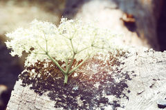 Inflorescence of white little flowers lying on wood Stock Photography