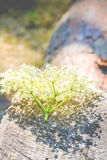 Inflorescence of white little flowers lying on wood Stock Photo