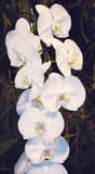 Inflorescence of white orchid. Phalaenopsis stock photography