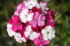 Inflorescence with white pink and purple flowers Stock Photos