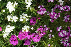 Inflorescence with white pink and purple flowers Royalty Free Stock Photos