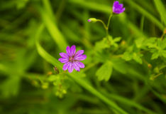 inflorescence of wild geranium in grass Stock Photography