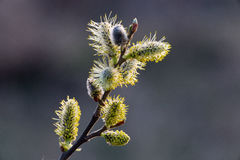 Inflorescence willow or catkin macro close-up. Spring tree in bloom royalty free stock photos
