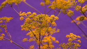 Inflorescence of a yellow flower dill against a blue background stock video footage