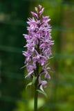 InflorescenceDactylorhizamaculata, Heath Spotted Orchid makro royaltyfri foto