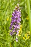 InflorescenceDactylorhizamaculata, Heath Spotted Orchid makro, selektiv fokus, grund DOF fotografering för bildbyråer