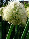 Inflorescencehuvud med frö för lökformig växt Royaltyfri Fotografi