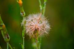 Inflorescencen är ett paraply Fotografering för Bildbyråer