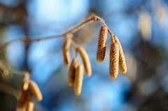 Inflorescences of alder in the form of earrings in the winter forest stock image
