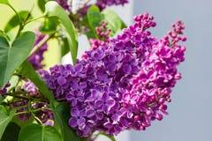 Inflorescences av den purpurfärgade lilan på den selektiva fokusen royaltyfria bilder