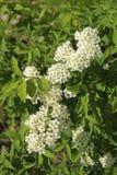 Inflorescences av små ljus-vit blommor Arkivbilder