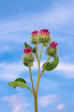 Inflorescences of burdock Royalty Free Stock Image