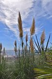 Inflorescences of Cortaderia Stock Images