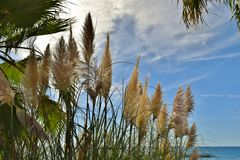 Inflorescences of Cortaderia Royalty Free Stock Photography