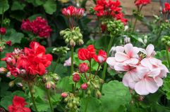 Inflorescences d'ivrogne et bourgeons de floraison des géraniums rouges et roses extérieurs, Russie Photo stock