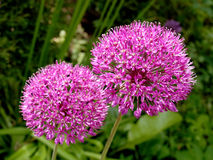 Inflorescences of decorative onions (Allium), close up Royalty Free Stock Photo
