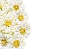 Inflorescences des zinnias de fleurs sur un fond blanc Photos stock