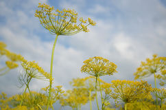 Inflorescences dill Stock Images