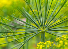 Inflorescences of dill. Green inflorescences of dill in the garden Royalty Free Stock Photography