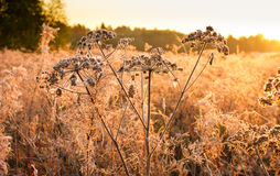 Inflorescences dried plants covered with frost Royalty Free Stock Images