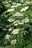 Inflorescences of Elderflower Stock Image