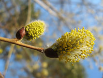 Inflorescences flowering willow Royalty Free Stock Image