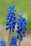 Inflorescences of grape hyacinth Stock Image