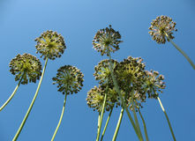Inflorescences onions against the blue sky. Royalty Free Stock Photography