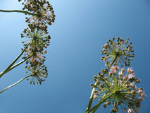 Inflorescences onions against the blue sky. Royalty Free Stock Image