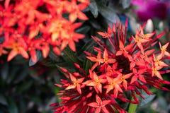 Inflorescences rouges d'aiguille dans le jardin photographie stock