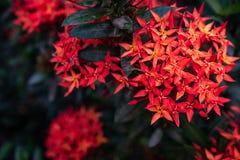 Inflorescences rouges d'aiguille dans le jardin photo libre de droits