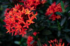 Inflorescences rouges d'aiguille dans le jardin photos stock