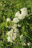 Inflorescences of small bright-white flowers Stock Images