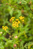 Inflorescences of tansy in the green grass in summer in the field. Soft background Stock Image