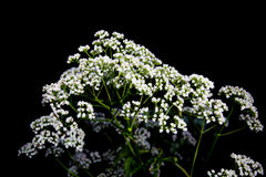 Inflorescences umbellate plants on black. Inflorescences umbellate plants on a black background Royalty Free Stock Image