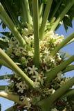 Inflorescencia, árbol de papaya Foto de archivo libre de regalías