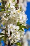 Inflorescencia blanca de la cereza en un fondo del cielo azul Imagenes de archivo