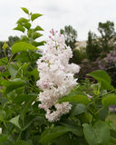 Inflorescencia blanca de la lila Fotos de archivo