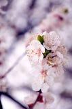 Inflorescencia blanca de la manzana Imagen de archivo libre de regalías