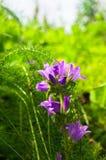 Inflorescencia brillante de la lila del bellflower agrupado o del glomerata de la campánula bajo luz del sol en fondo borroso fotografía de archivo libre de regalías