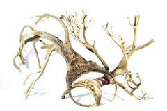 Inflorescencia caida de la palmera en el fondo blanco Imágenes de archivo libres de regalías