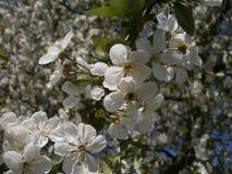 Inflorescencia de cerezas Foto de archivo