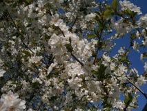 Inflorescencia de cerezas Foto de archivo libre de regalías