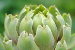 Inflorescencia de la alcachofa Imágenes de archivo libres de regalías